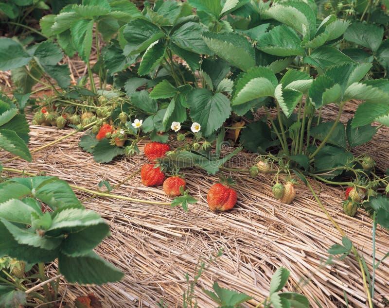 Erdbeere durch Blätter stockbilder