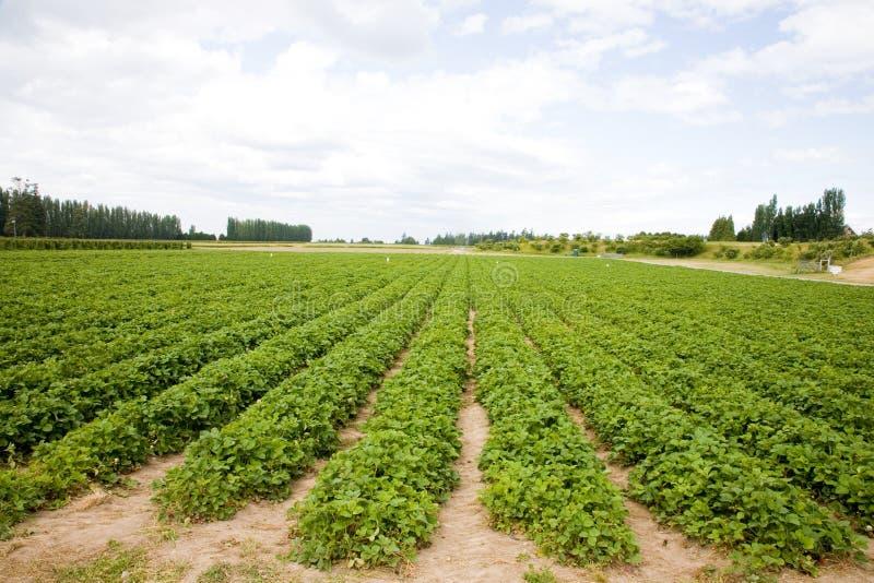 Erdbeere-Feld stockfoto