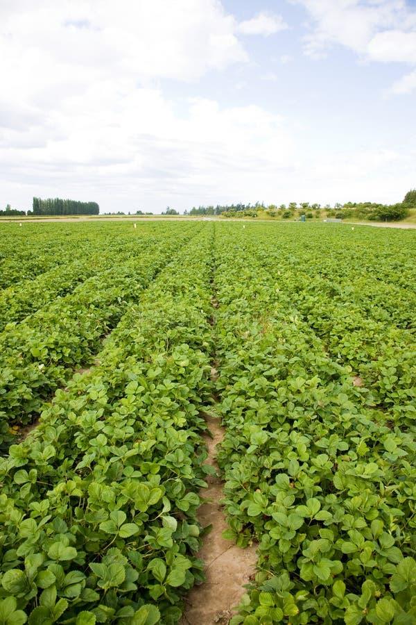 Erdbeere-Feld stockfotos