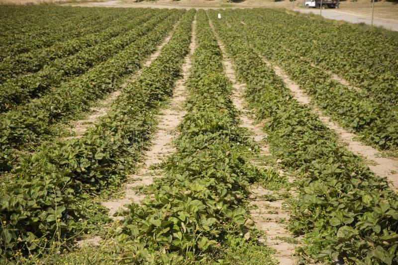 Erdbeere-Feld stockbild