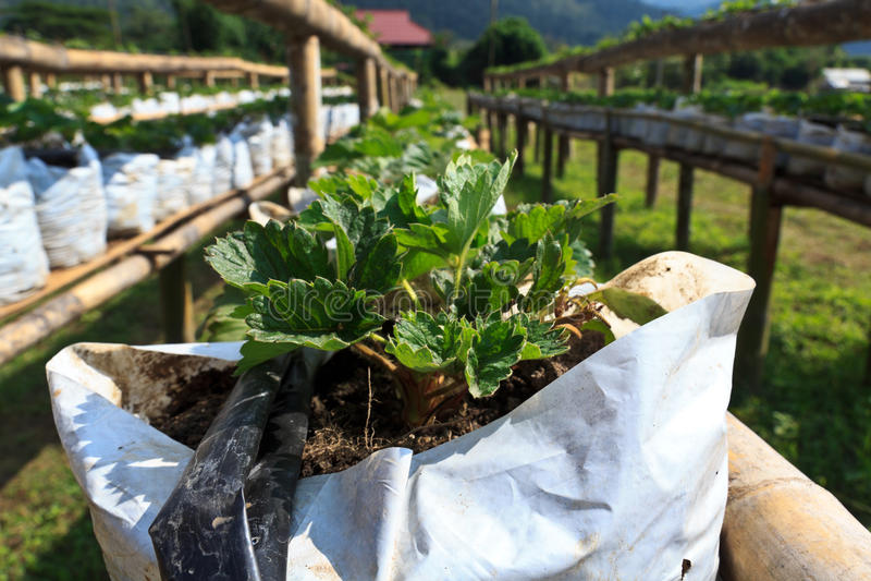 Erdbeere organisch stockfotografie