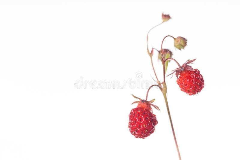 Erdbeere - trägt von der Natur mit Kopie-Raum Früchte lizenzfreies stockbild