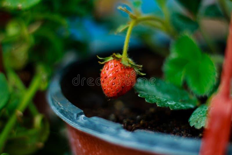 Erdbeere wächst auf dem Fenster stockfoto