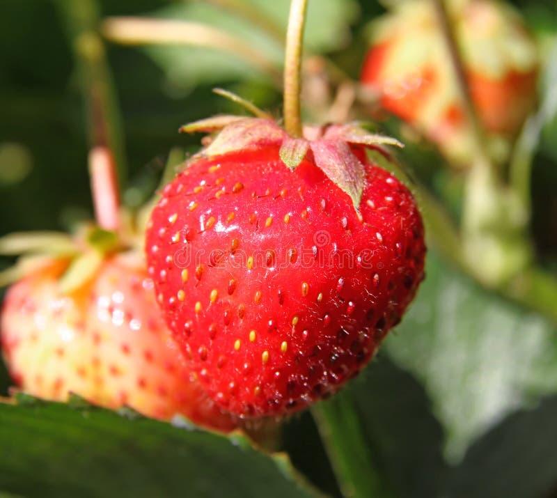 Erdbeereanlage lizenzfreies stockfoto