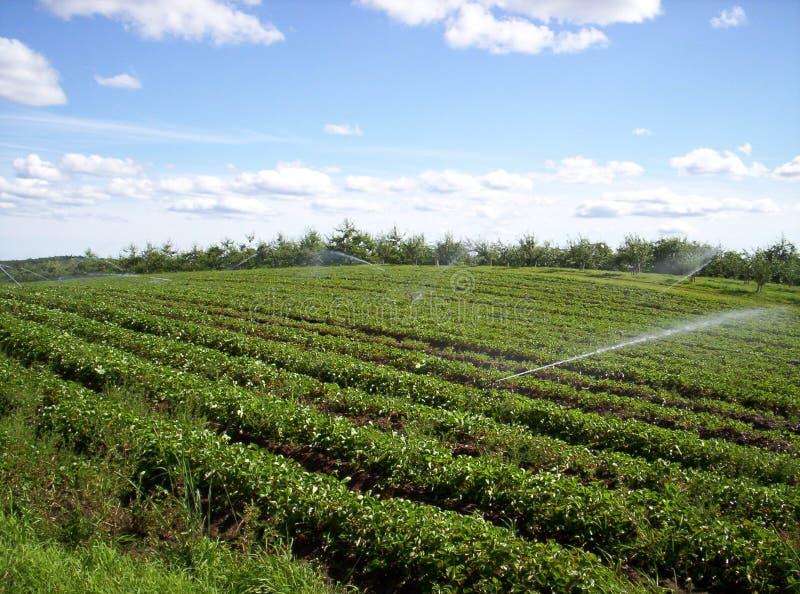 Erdbeerefeld stockfoto
