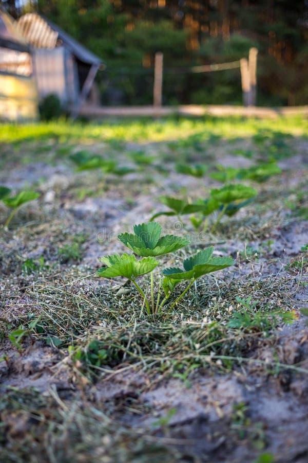 Erdbeeren, die bei Sonnenuntergang mit Gras in sandigem Boden säumen lizenzfreie stockfotografie