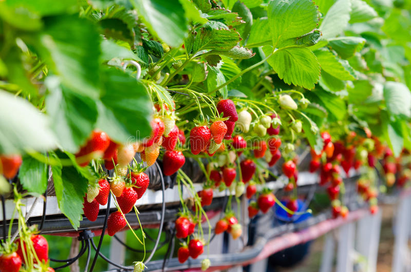 Erdbeeren, die gewachsen werden lizenzfreie stockfotografie