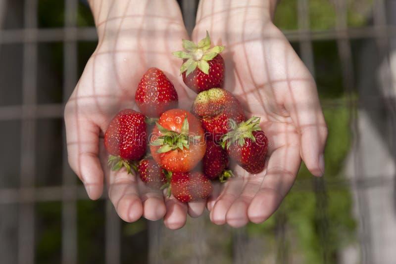 Erdbeeren unter dem Draht lizenzfreie stockfotografie