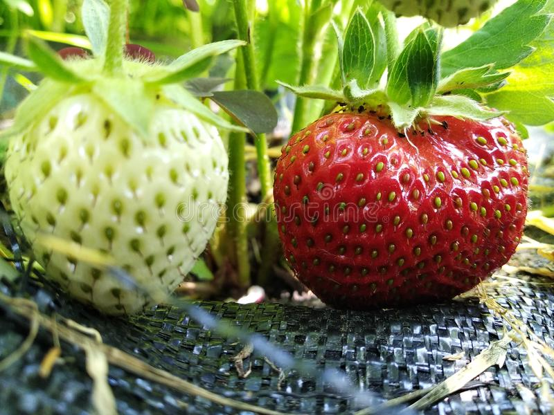 Erdbeeren wachsen im Garten, in den wachsenden Früchten und in den Beeren in seinem Garten grüne und rote Erdbeeren, Reifezeit se lizenzfreie stockfotos