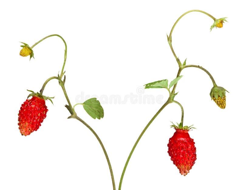 Erdbeeresprößlinge stockbilder