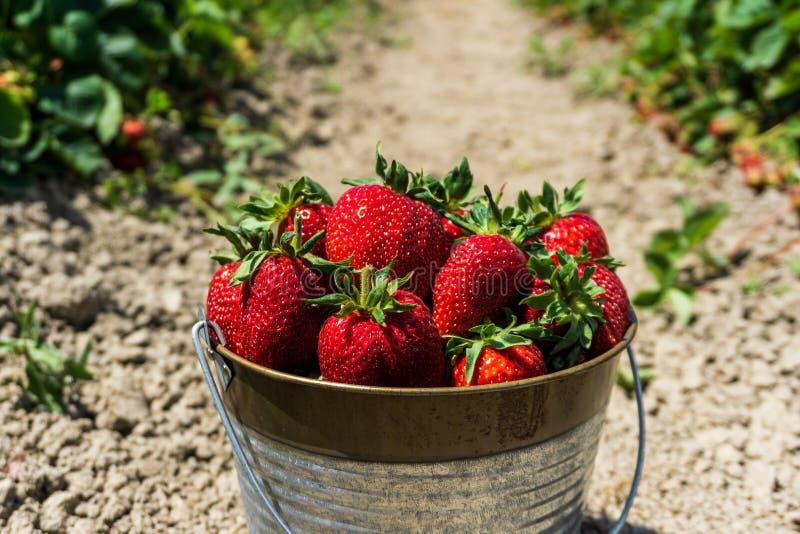 Erdbeerfeld auf frischer reifer Erdbeere des Bauernhofes im Eimer nahe bei Erdbeeren gehen zu Bett lizenzfreie stockbilder