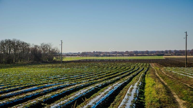 Erdbeerfelder in der Donauebene im Herbst lizenzfreies stockfoto