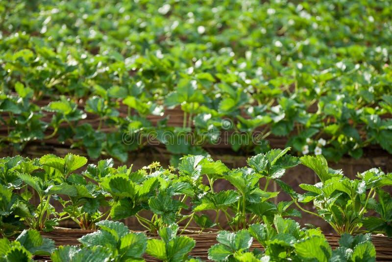 Erdbeergarten an doi angkhang Berg, chiangmai: Thailand stockfotos