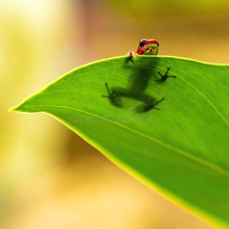 Erdbeerpfeil-Frosch beim Verstecken, Panama lizenzfreies stockfoto