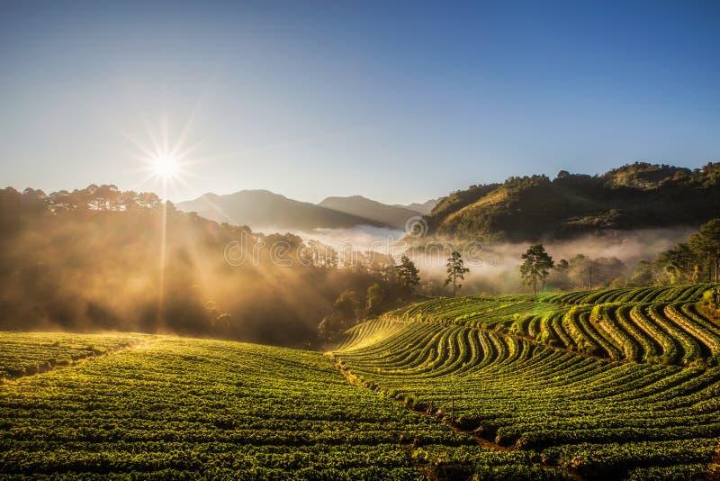 Erdbeerplantagen-Gartenansicht am nebelhaften Morgen bei Doi lizenzfreies stockfoto