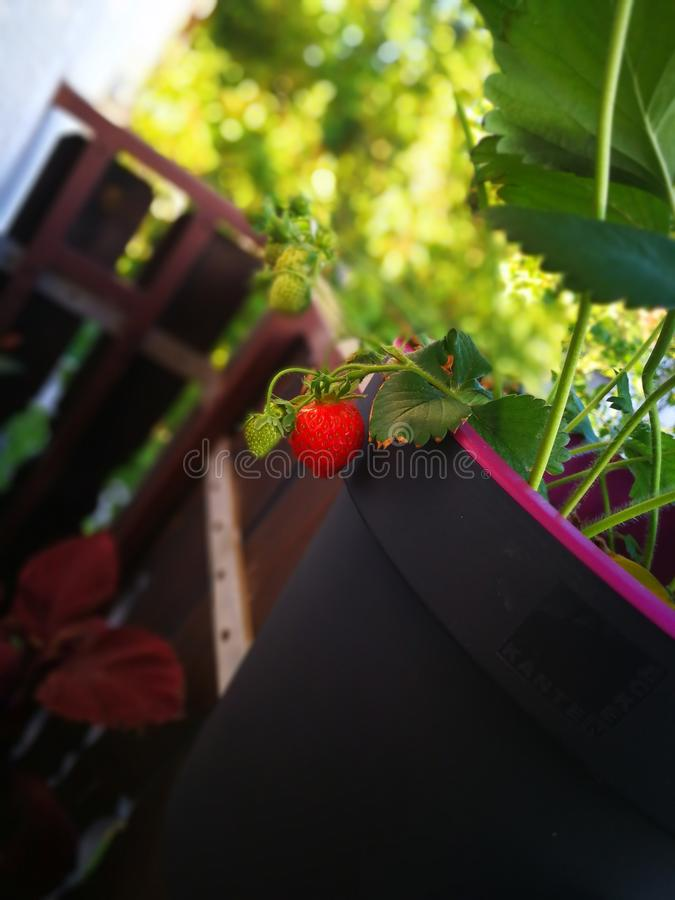 Erdbeerrot lizenzfreies stockbild
