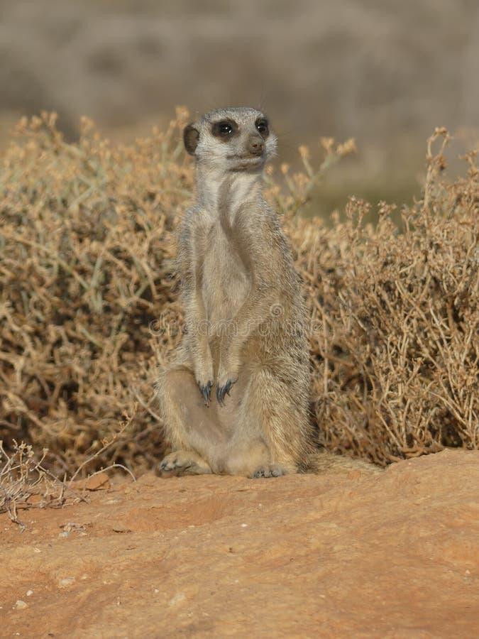 Erdmännchen MeercaT är aufgenommen för morgen för frühöna i Sydafrika arkivfoto