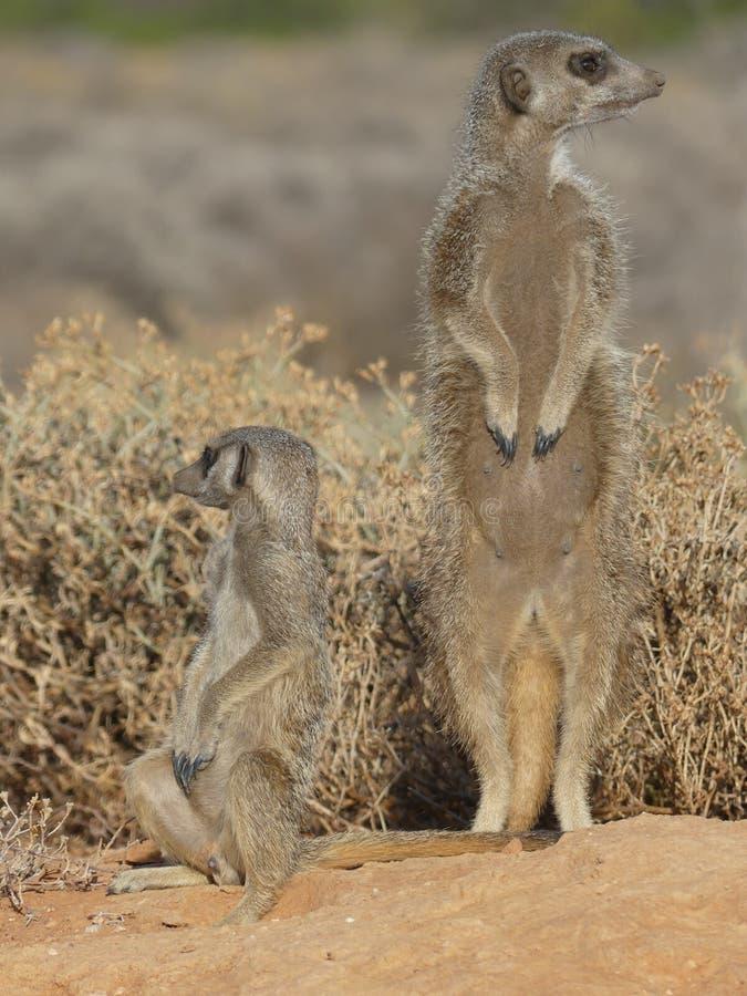 Erdmännchen MeercaT f.m. frühen morgenaufgenommen i Sydafrika royaltyfria bilder