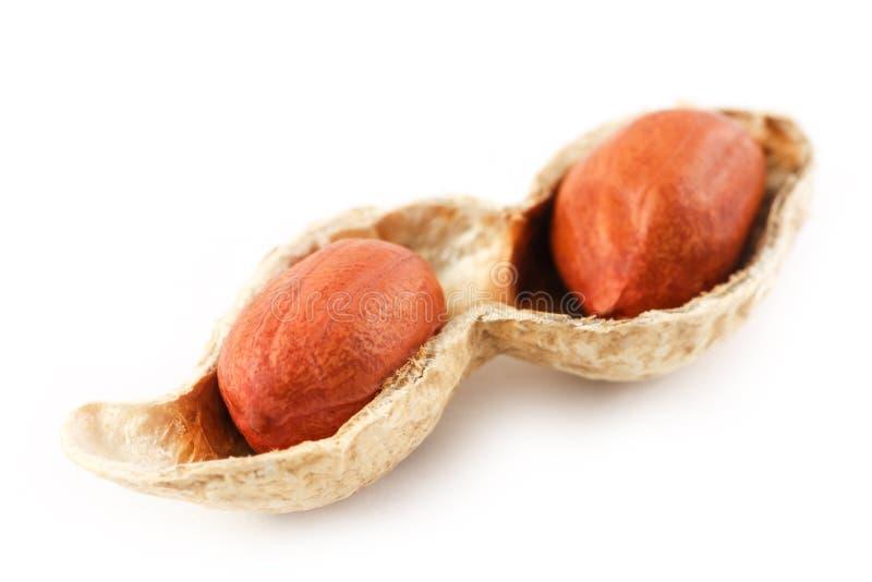 Erdnüsse auf einem abgezogenen Pfeiler, zwei Körner lokalisiert auf weißem Hintergrund lizenzfreies stockbild