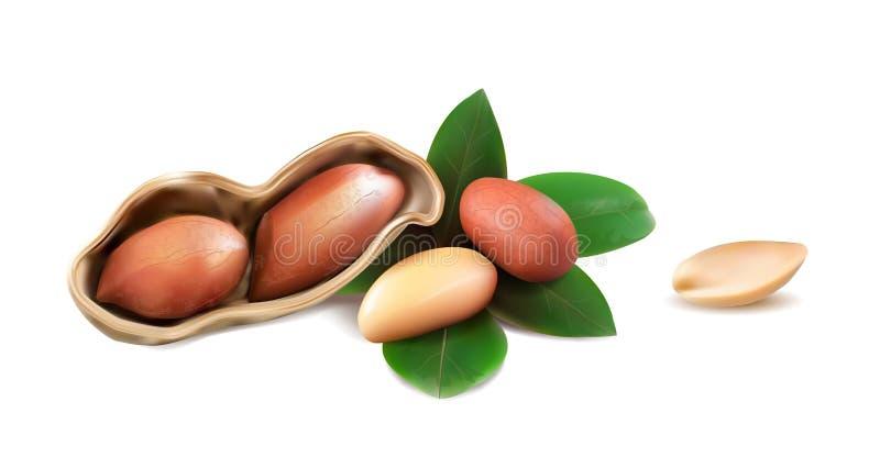 Erdnüsse im Oberteil mit offener Hälfte, abgezogene Kerne, Blätter lokalisiert auf weißem Hintergrund stock abbildung