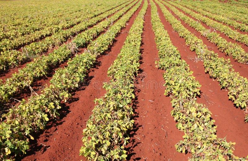Erdnuss-Getreide lizenzfreies stockbild