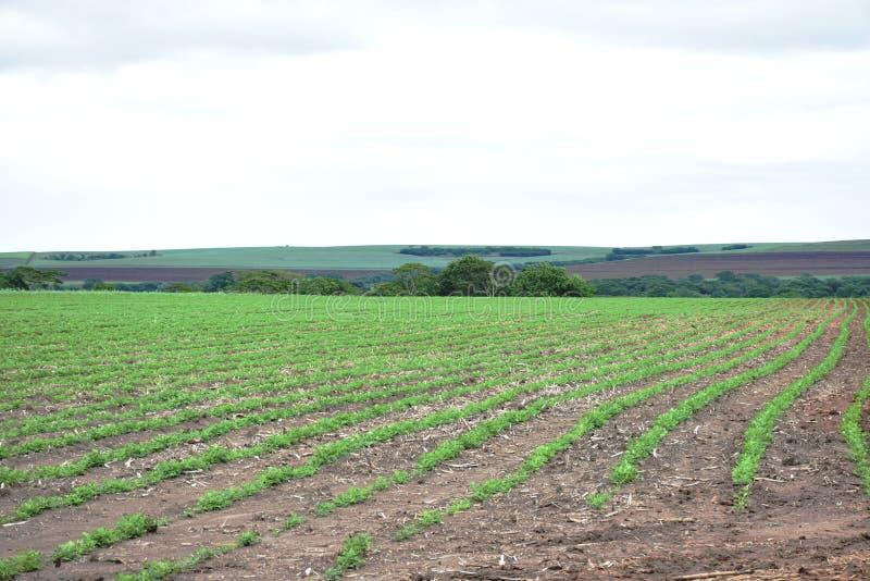 Erdnussfeld 3 Erdnusssämlinge Plantage mit symmetrischer Ansicht lizenzfreie stockfotografie