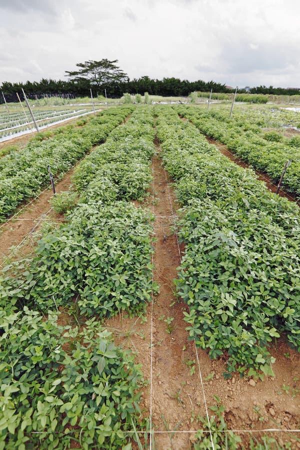 Erdnussplantageänderung am objektprogramm. lizenzfreie stockfotografie