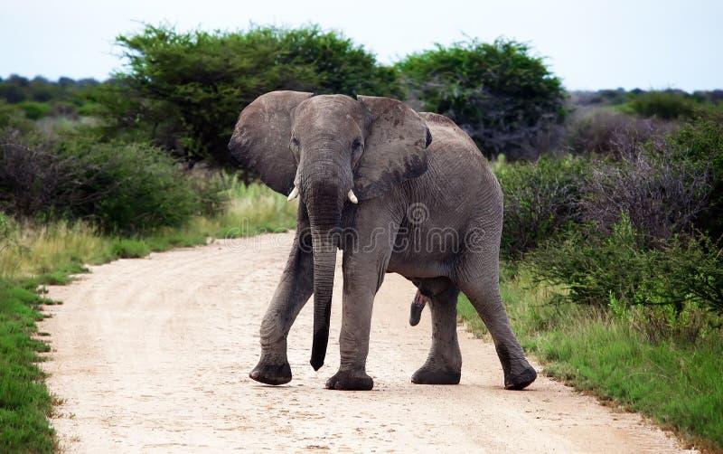 Ereção masculina do elefante africano fotos de stock