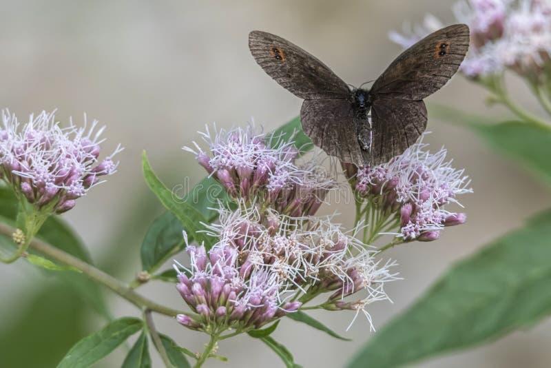 Erebia aethiops vlinder op bloem stock foto