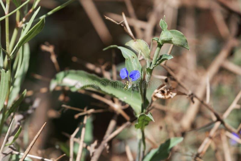 Erecta bianco di Commelina del dayflower della bocca fotografia stock
