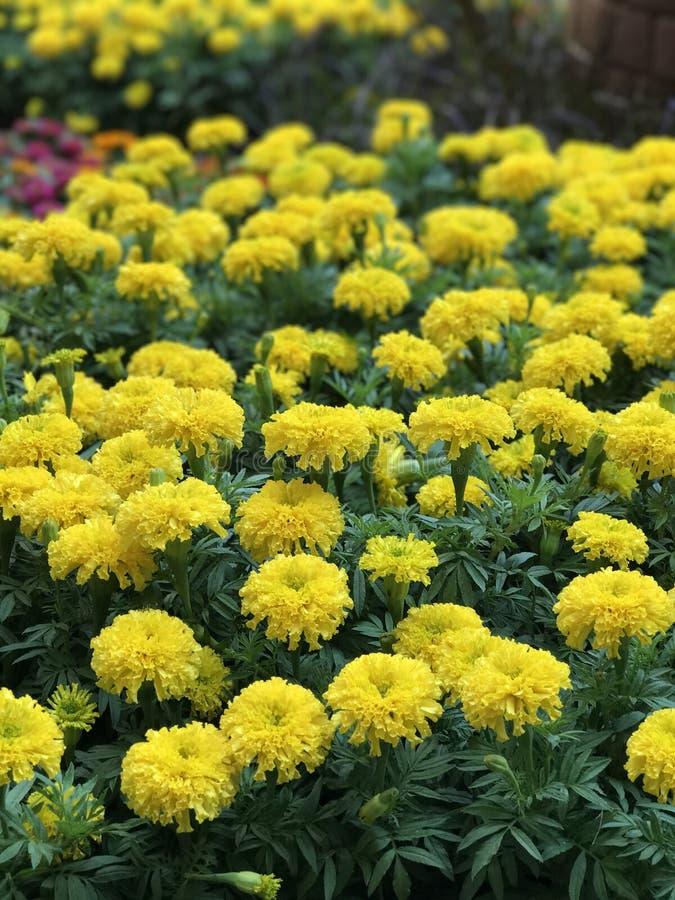 Erecta de Tagetes o flor mexicana del maravilla o africana de la maravilla imagen de archivo libre de regalías