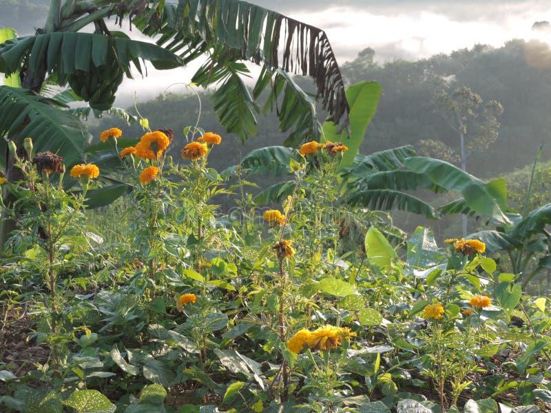 Erecta de Tagetes o maravilla o flor mexicana de Daoruang fotos de archivo