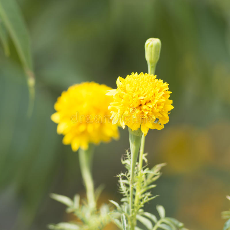 Download Erecta L De Tagetes Ou Souci Dans Le Jardin Photo stock - Image du beau, centrale: 87704562