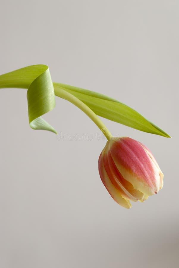 Erectile Dysfunction I. Single tulip on light grey background. Erectile dysfunction stock image