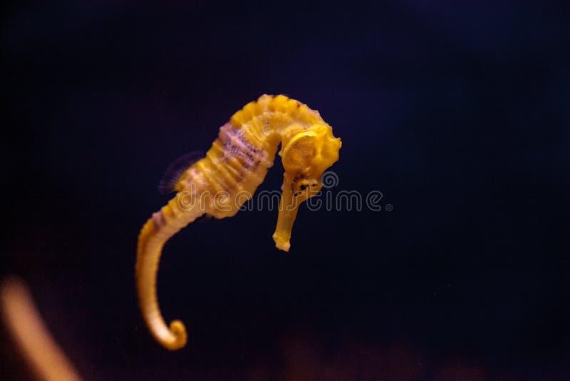 Erectus alinhado do hipocampo do cavalo marinho imagens de stock