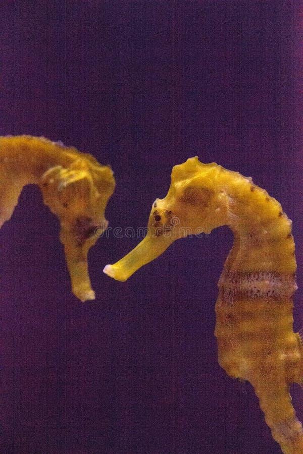 Erectus alinhado do hipocampo do cavalo marinho fotos de stock