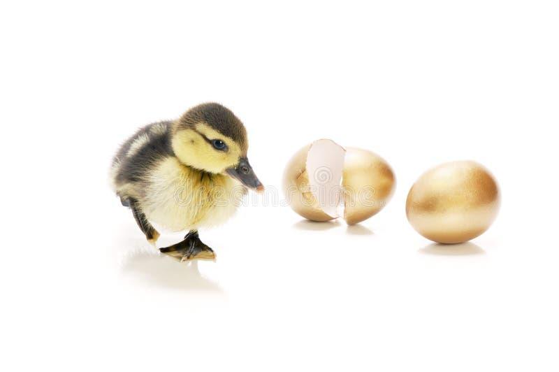 Erede delle uova dorate fotografia stock