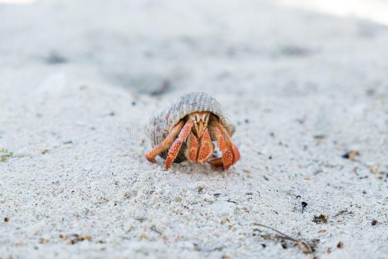 Eremita krab w skorupie na białej piasek plaży na Upolu wyspie, Sa fotografia stock