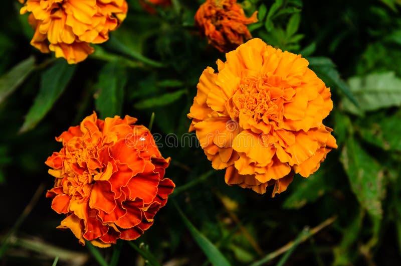 Ereta mexicano de Tagetes dos cravos-de-defunto, cravo-de-defunto asteca em um canteiro de flores imagens de stock
