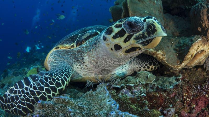 eretmochelys hawksbill χελώνα θάλασσας imbricata στοκ εικόνες