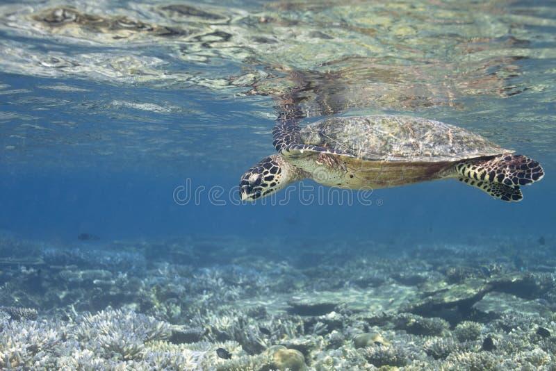 eretmochelys hawksbill imbricata żółw obraz royalty free
