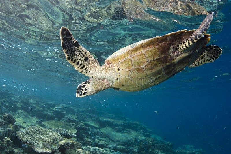eretmochelys hawksbill imbricata żółw fotografia stock