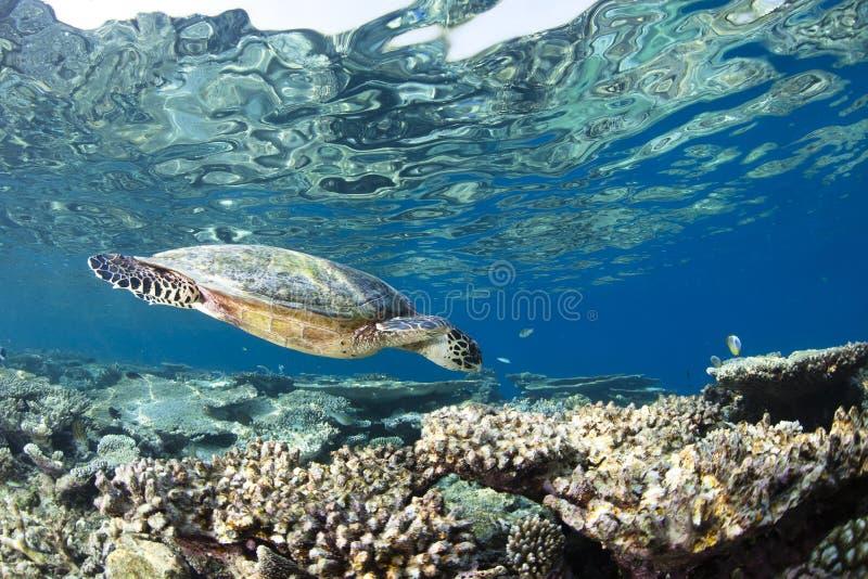 eretmochelys hawksbill imbricata żółw zdjęcie royalty free