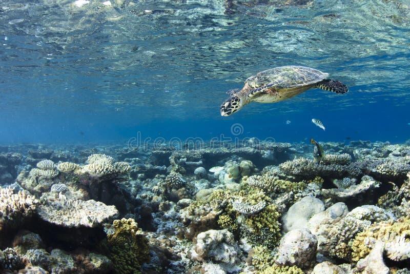 eretmochelys hawksbill imbricata żółw obrazy royalty free