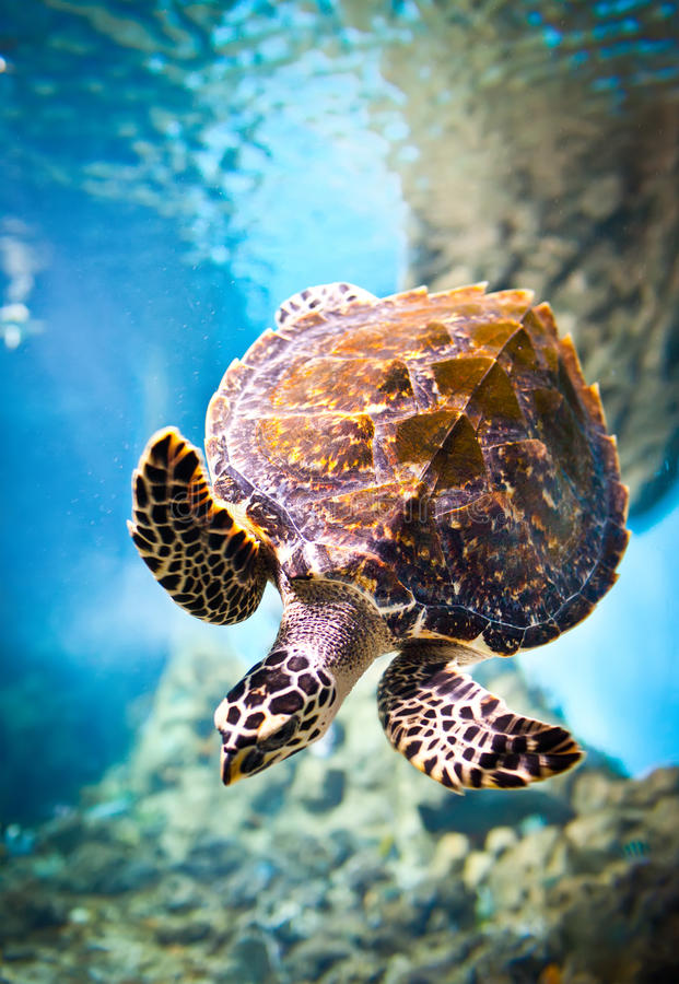 Eretmochelys imbricata. Floats under water royalty free stock image