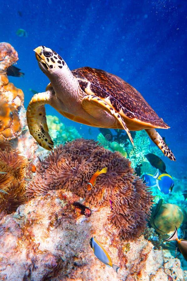 Eretmochelys imbricata. Turtle - Eretmochelys imbricata floats under water royalty free stock photo