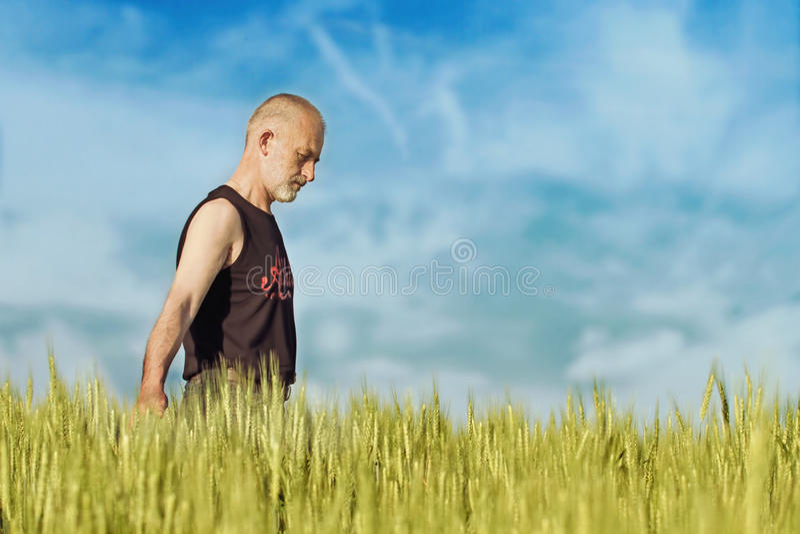 Erfüllter reifer Landwirt, der sorgfältig sein reifes Weizenfeld berührt stockfoto