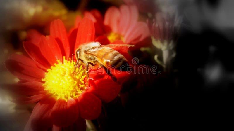 Erfassung des Blütenstaubs von einer Chrysantheme lizenzfreies stockbild