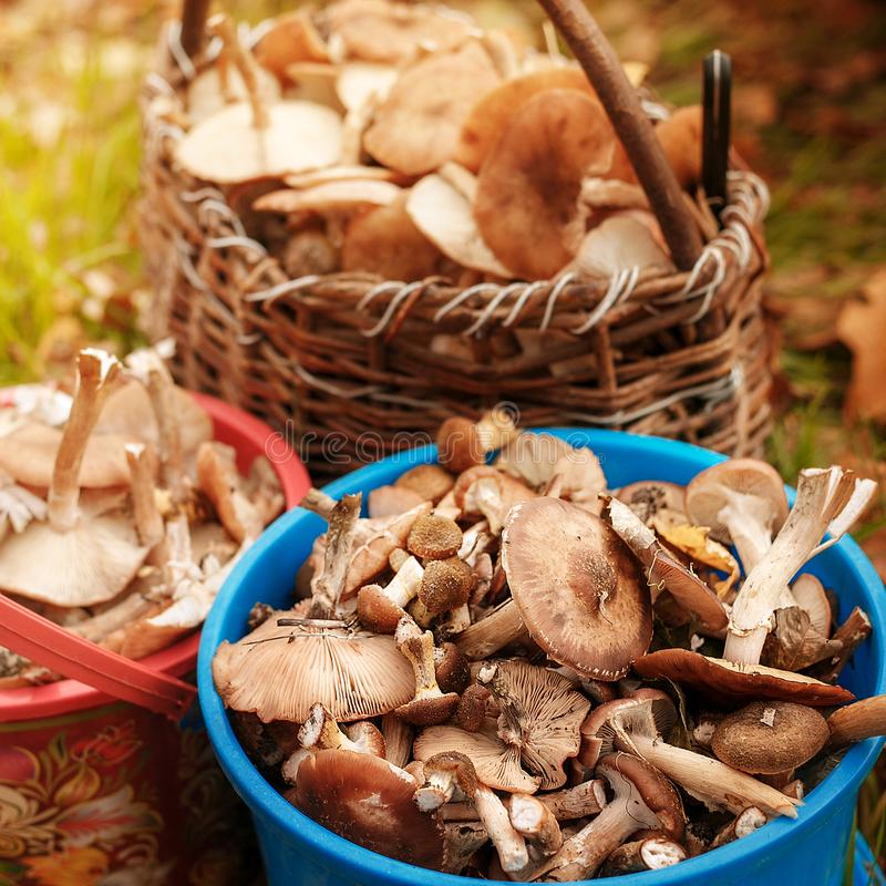 Erfolgreiche Pilzjagd im Herbstwald lizenzfreies stockfoto