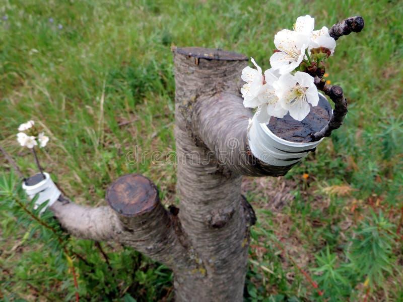 Erfolgreiche Transplantation in der Niederlassung eines Kirschbaums lizenzfreies stockbild